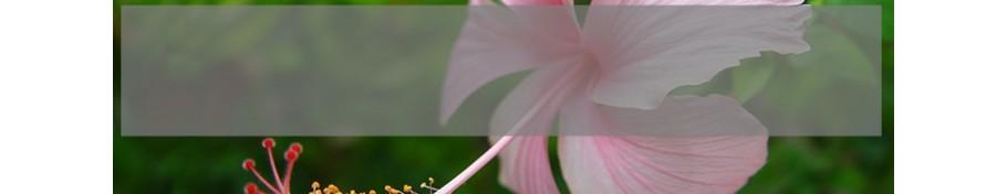 Hibiscus Hibiskus
