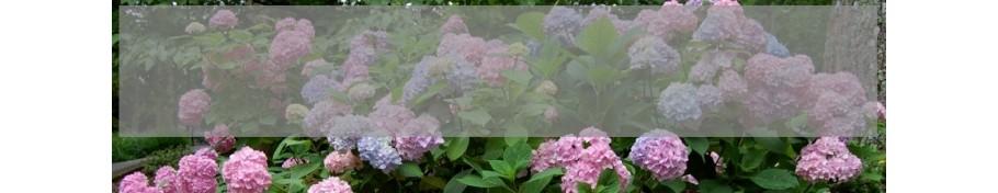 Hydrangea macrophylla Hortensja ogrodowa