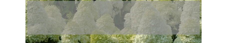 Hydrangea paniculata Hortensja bukietowa