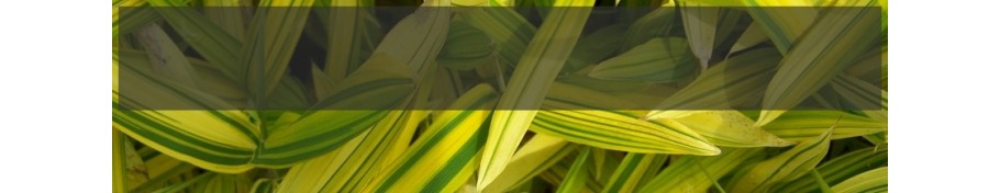Pleioblastus Bambus