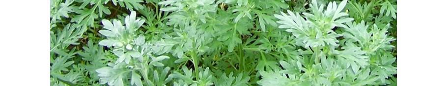 Artemisia bylica