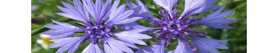 Centaurea chaber