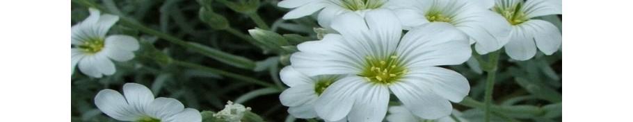 Cerastium rogownica